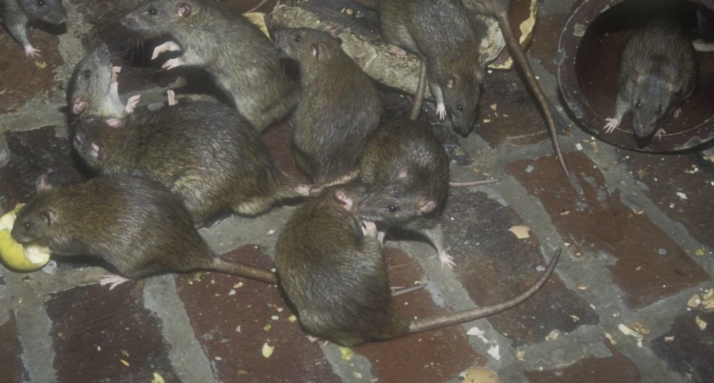 уничтожение крыс в Новочебоксарске